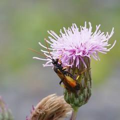 Wasp (Henri Koskinen) Tags: ichneumon suspiciosus wasp pistiinen virtasalmi 07082016