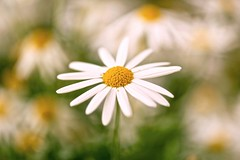 (Anna Kwa) Tags: daisy macro bokeh art nature singapore annakwa nikon d750 afsvrmicronikkor105mmf28gifed my dreams world always   hope remembrance memories love change