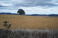 Lone oak (briangeerlings) Tags: xe1 zuiko fuji fujifilm oregon fzuiko38mmf18 penf landscape movingcar oak tree field wheat grass sky clouds