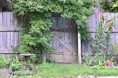 Garden Gate (John W East AU58) Tags: evergreen wisteria plant gate garden hedychium coccineum ginger lily wooden invasiveplant mellettia reticulata vine nikond7000 usa