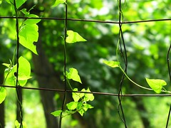 surviving hearts (s_lverspring) Tags: creep fence vineyard wire leaves trasparent fragile up towards sun sunkissed light green summer cheer embrace weed square curve
