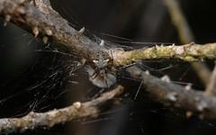Araneus albotriangulus (dustaway) Tags: arthropoda arachnida araneae araneomorphae araneidae araneinae orbweaver araneusalbotriangulus spinne