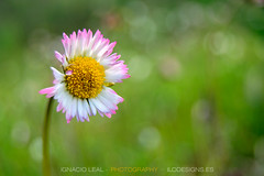 Pink on daisy (ILO DESIGNS) Tags: flora flower daisy nature wildlife meadow green white pink madrid spain europe