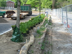24 Plantings ready to go in along roadway (chelmsfordpubliclibrary) Tags: cpl chelmsford chelmsfordpubliclibrary chelmsfordlibrary greenway