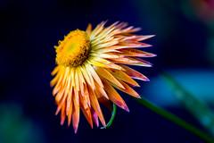 (Armin Synek) Tags: strawflower strohblume yellow gelb flower blume blossom xerochrysumbracteatum bokeh dof
