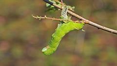 Eyed Hawk-moth Caterpillar (jaytee27) Tags: eyedhawkmothcaterpillar naturethroughthelens