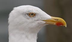 gull portrait (dr.larsbergmann) Tags: gull bird portrait nature eos flickr