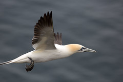 Gannet At Cape St. Mary's (Edmonton Ken) Tags: northern gannet bird sea ocean white blue eye gliding cape st marys newfoundland national park