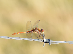 A Beautiful Summer's Evening (bredma) Tags: dragon dragonfly commondarter male insect wild uk british wildlife nature naturallight macro closeup idlevalley barbed wire olympus em1 60mmmacro