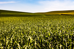 Imagination (Culinary Fool) Tags: wheat usa washington 2016 hill palousescenicbyway rollinghills roadtrip brendajpederson travel farm photography palouse wa green ranch may culinaryfool travelwa 2470mm28