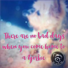 Yorkies take that frown and turn it upside down. (itsayorkielife) Tags: yorkiememe yorkie yorkshireterrier quote