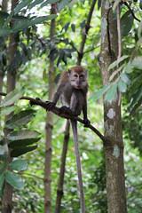 IMG_0403 (trevor.patt) Tags: palauubin singapore island macaque monkey
