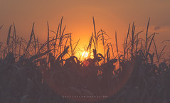 Harvest time in the Midwest - Explore (Christine Swanzy) Tags: corn midwest sunset illinois harvest
