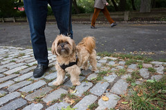 Charlie, Shih Tzu/Yorkshire Terrier (Charley Lhasa) Tags: ricohgrii grii 183mm 28mm35mmequivalent iso400 secatf28 0ev aperturepriority pattern noflash r009755 dng uncropped taken161001153557 uploaded161001232026 3stars unflagged adobelightroomcc20157 lightroomcc20157 adobelightroom lightroom charlie yorkie yorkshireterrier shihtzu shorkie dog dogs dogsmet centralpark nycparks manhattan newyorkcity nyc newyork ny tumblr161001 httpstmblrcozpjiby2crxax7