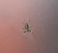 Cropped Spider (PinziPie) Tags: spider spiderweb arachnid yuck arachnaphobia aracnid aracniphobia