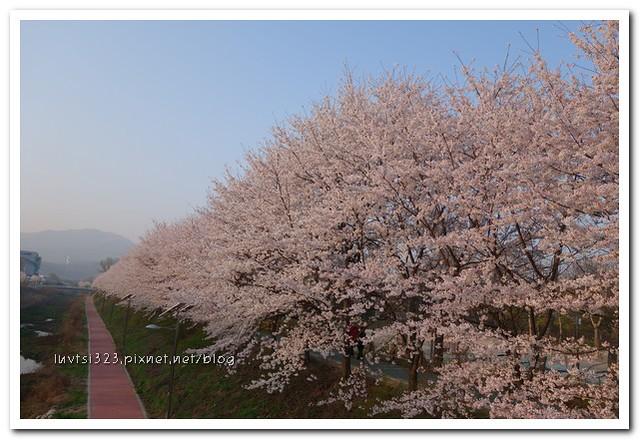 양재천벚꽃15