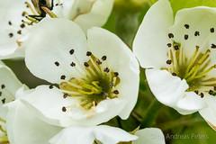 DSC04789_s (AndiP66) Tags: tree mark sony blossoms ii pear alpha f18 77 birne blüten birnbaum sigma105mm birnenblüte andreaspeters 77m2 a77ii ilca77m2 77ii slta77ii