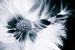 Mystical Dandelion (ssadoss) Tags: sony dandelion 60mm alpha tamron f28 mniszeklekarski slta58