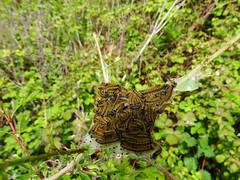 Lackey Moth (Malacosoma neustria) (Explored) (wayne.withers1970) Tags: butterflies moths caterpillars