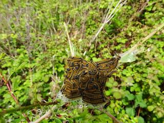 Lackey Moth (Malacosoma neustria) (Explored)