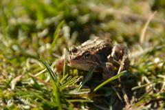Little frog (lg-photographic) Tags: macro green nature grass animal nikon little reptile natur frog gras makro frosch kleiner tier reptil d5200