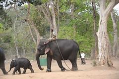 DSC_0174_2 (drs.sarajevo) Tags: india karnataka madikeri kaveririver dubareelephantpark