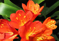 Natal Lily by My Lovely Wife (Puzzler4879) Tags: flowers orange pointandshoot bbg brooklynbotanicgarden botanicalgardens botanicgardens canonpowershot clivia orangeflowers canonaseries cliviaminiata canonpointandshoot a580 natallily canona580 canonpowershota580 powershota580