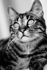 museau (LucieLune) Tags: white black animal cat blackwhite eyes chat noir oeil yeux blanc noirblanc museau tigr