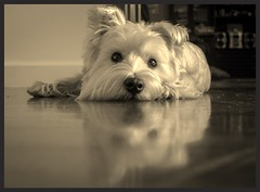 My Dog (hoomanz) Tags: west terrier highland