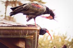 sf sanfrancisco bird birds zoo ibis aviary sfzoo sanfranciscozoo waldrapp ibises geronticus geronticuseremita waldrappibis africanaviary sanfranciscozoogardens