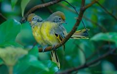 / Chestnut-tail Minla / Chrysominla strigula (bambusabird) Tags: nature birds forest thailand nikon rainforest wildlife tropical chiangmai oriental doiinthanon minla bambusabird