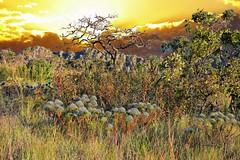 Jardins do Cerrado (Fandrade) Tags: cerrado paisagem do vegetao chuveirinho sol sunset brasil regio centro oeste landscape vista scenery view panorama prospect sight perspective vision eyesight ao ar livre rvore planta pordosol