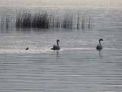 Cygnets in the distance (seikinsou) Tags: ireland summer lake rain evening swan midsummer cygnet drizzle mullingar westmeath loughennel