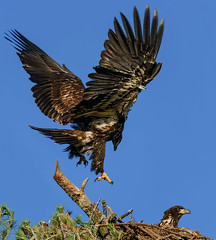Dancing in the Wind (20160714-192846-PJG) (DrgnMastr) Tags: bravo cropped eagles baldeagles eaglets littlestories avianexcellence diamondclassphotographer flickrdiamond sacrednature naturesspirit picswithsoul naturescarousel dmslair sunshinegroup grouptags allrightsreserveddrgnmastrpjg pjgergelyallrightsreserved ia49