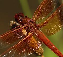 Orange Dragonfly (rahtenkhamen) Tags: iso800 pentax dragonfly gimp handheld 11000 230mm k200d pentaxsmcpda55300mmf458edwr