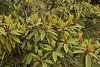 Rhododendron arboreum (4) (siddarth.machado) Tags: rhododendron northsikkim himalayanflora 3000msl