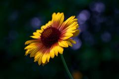 Paso doble (Ans van de Sluis) Tags: ansvandesluis hortus bloom bokeh bokehlicious botanic botanical colourful colours flora floral flower garden nature summer pasodoble