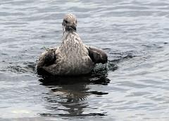 Herring Gull (5) (grahamh1651) Tags: newlyn newlynharbour tolcarne birds seabirds gulls swans waders shorebirds