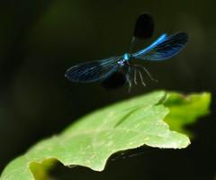colorando le giornate... (andrea.zanaboni) Tags: libellula ali wings blu colori colorando nikon volare fly nature natura verde green ngc