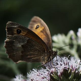 Papillon (Explore-29/07/2016)