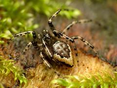 Tiny Cobweb Weaver