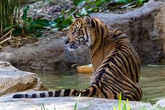 Late afternoon dip in the pool (ToddLahman) Tags: sandiegozoosafaripark safaripark sumatrantiger suka tigers tigertrail tiger tigercub teddy joanne canon7dmkii canon canon100400 escondido