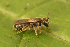 Dwergzandbij - Andrena minutula (henk.wallays) Tags: