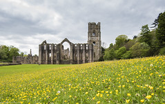 Fountains Abbey and the Buttercups (Shey Braoinn) Tags: 2016 archictecure breen fountainsabbey northyorkshire ranunculus studleyroyal buttercups meadow monastic ruin
