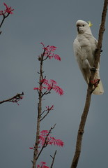 Cockatoo in the Chinese Cedar (Jan Diamond) Tags: cockatoo sulphurcrestedcockatoo chinesecedar
