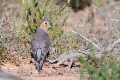 Cockateil (chrissteeles) Tags: cockateil cockatoo bird birding bloodscraak cliftonhillsstation birdsvilletrack southaustralia sa outback