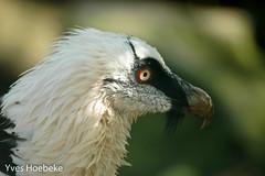 lammergier-1.jpg (yhoebeke) Tags: lammergier roofvogels accipitridae lammergeier gypaetusbarbatus