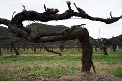 old vines (Blue Mtns. bush girl) Tags: keith tulloch wine foundation members day huntervalley old vine kester shiraz