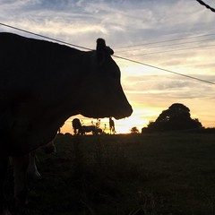 16-211 (Gray Singer) Tags: normandy sunset silhouette cow horse bullock foal