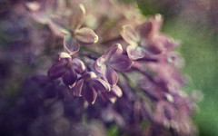 Spring Lilacs (Anne Worner) Tags: anneworner lensbaby ononesoftware syringavulgaris aromatic bend bendy blossom blur bokeh cluster flower layers lilac olivefamily purple texture